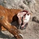 Du bétail et des chevaux mutilés en Argentine