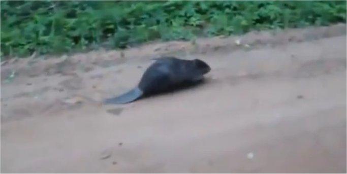 Un pêcheur tué par un castor