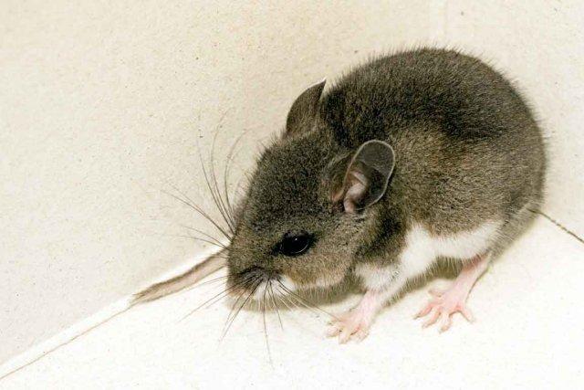 Une souris enflamme sa maison
