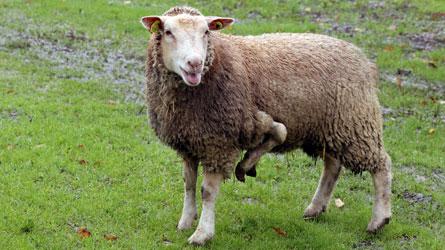 Le mouton à 5 pattes existe et il est à vendre !