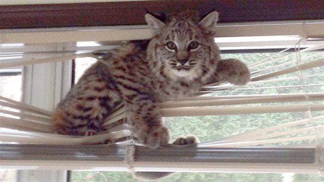 Quand un lynx perd sa lutte contre des stores vénitiens