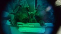 Des cochons fluorescents créés grâce à de l'ADN de méduse