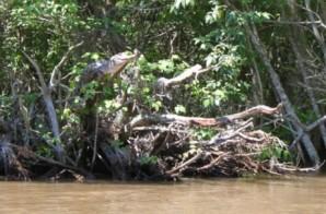 Certains crocodiles savent monter aux arbres