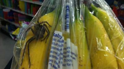 D'autres araignées dangereuses trouvées dans des bananes vendues au Québec