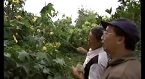Sans abeilles, les paysans chinois « pollinisent »... à la main !