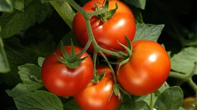 Des tomates transformées en pièces d'auto?
