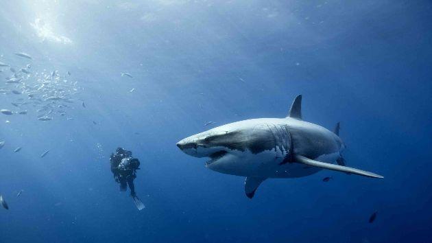 Il rencontre un grand requin blanc en plongeant dans un lac