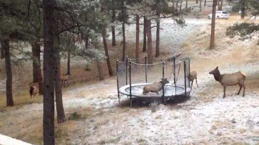 Un élan fait du trampoline