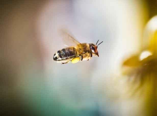 Découverte d'un insecte aux organes génitaux mâles et femelles inversés