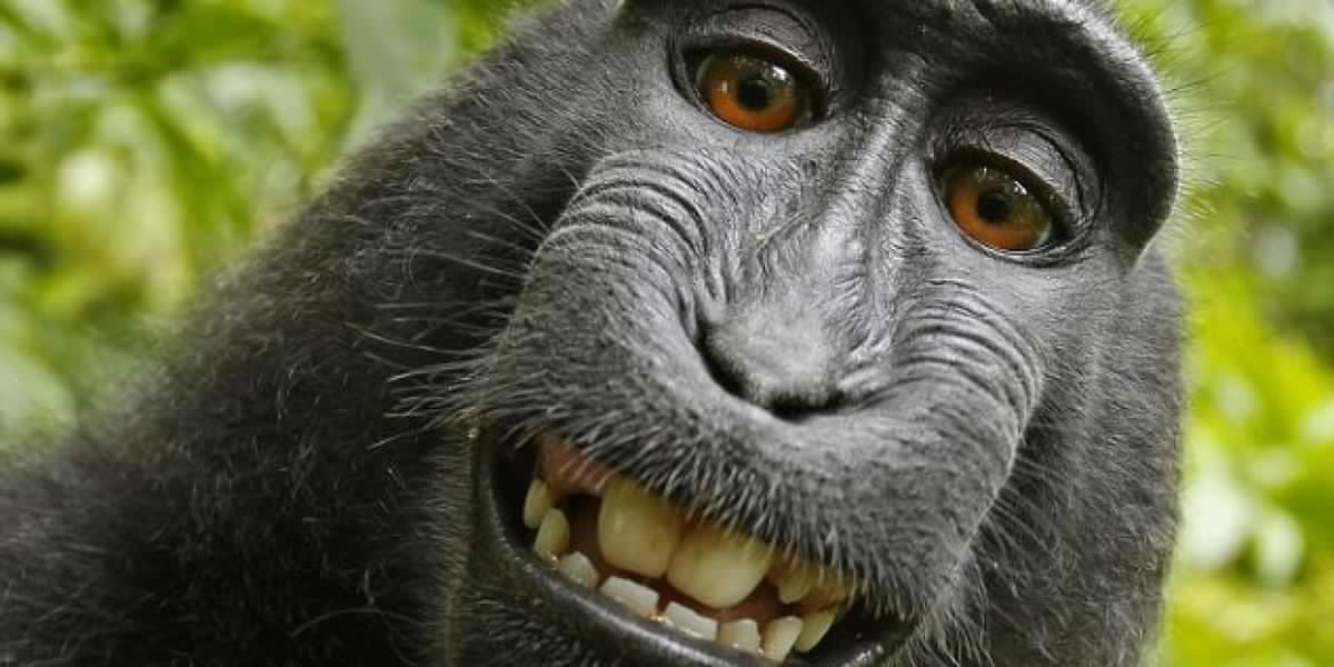 Les singes parlent avec des accents