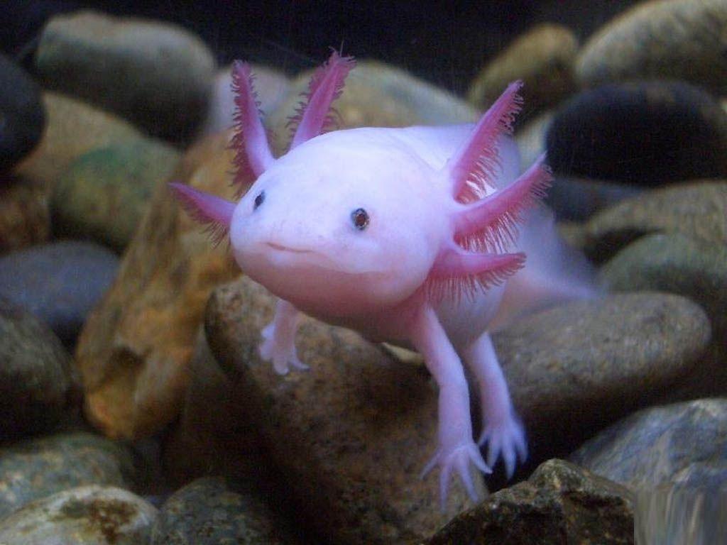 AXOLOTL: LE SYNDROME DE PETER PAN - Une créature amphibie qui grandit bien rarement