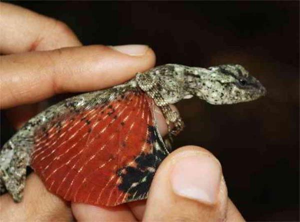 Un minuscule Dragon a été photographié en Indonésie