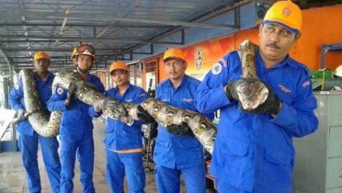 Le plus grand serpent du monde découvert en Malaisie