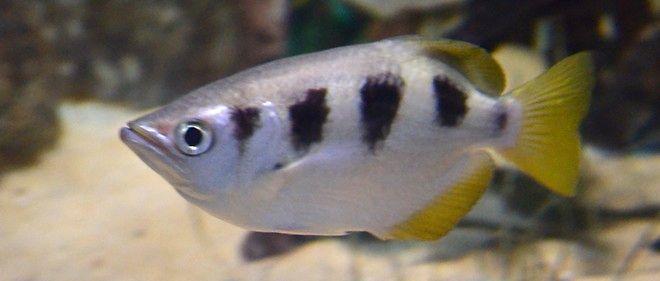 Les poissons peuvent reconnaître les visages humains !