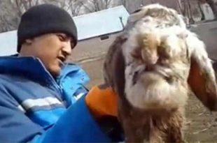 Des agriculteurs sont abasourdis par un « agneau mutant » déformé au niveau du visage