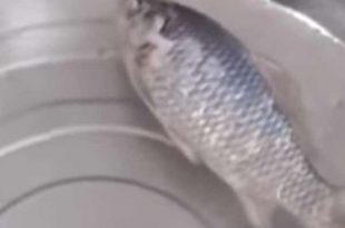 Vidéo: Un poisson gelé revient à la vie