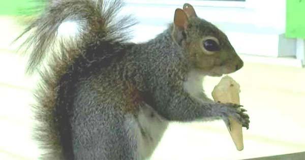 Vidéo: Un écureuil mange deux mini-cornets à glace tous les jours chez son glacier préféré
