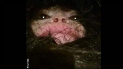 Vidéo perturbante : Une créature poilue a été capturée en Azerbaïdjan