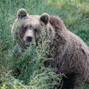 Les Grizzlys deviennent végétariens à cause du réchauffement climatique, ils préfèrent les baies au saumon