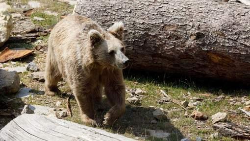 Fin du mystère, le légendaire yéti est un ours