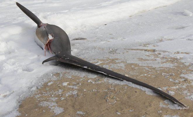 Il fait tellement froid aux États-Unis que des requins meurent congelés