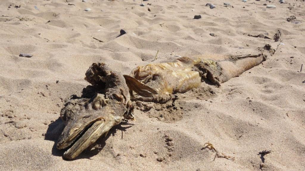 Le cadavre d'un monstre découvert en Écosse