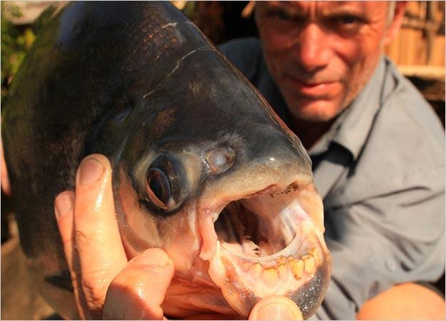 Un piranha dans la rivière !