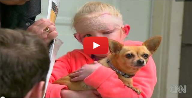 Un chihuahua sauve une fillette d'un pitbull