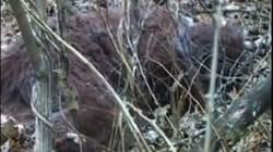 Le Yéti existe t-il ? Des chercheurs pensent avoir filmé un Bigfoot endormi