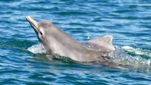 Une nouvelle espèce de dauphin découverte en Australie