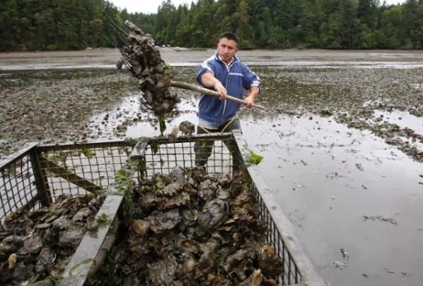Ile de Vancouver : 10 millions de poissons pétoncles retrouvés morts