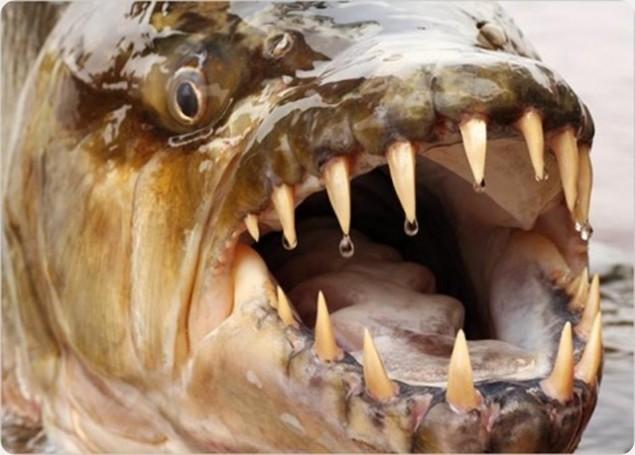 Un poisson nommé Goliath aime bien manger les crocodiles.