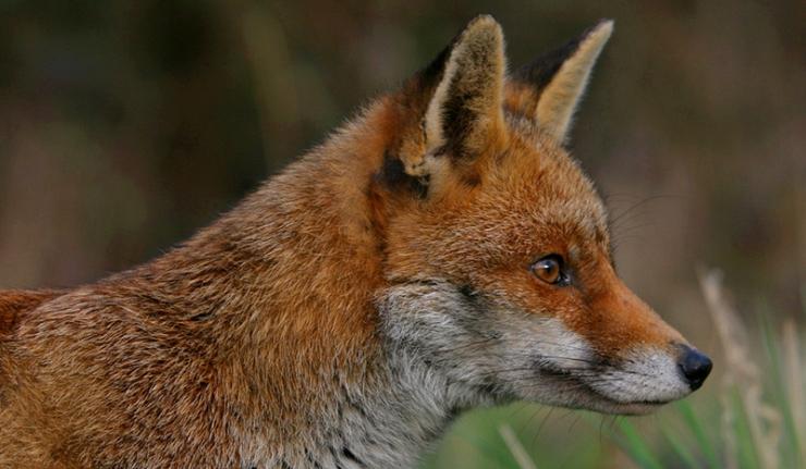 Les services secrets US ne parviennent pas à attraper un renard