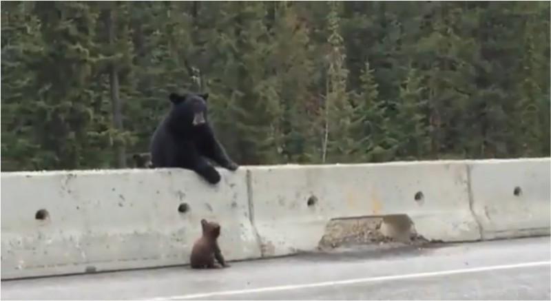 Une ourse porte secours à un ourson en C.-B.
