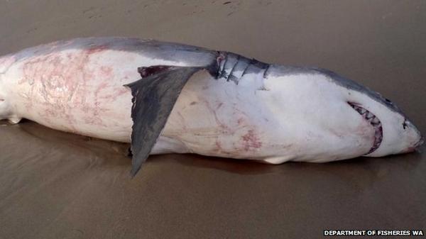 Un requin est mort étouffé par un lion de mer au bord de l'eau en Australie