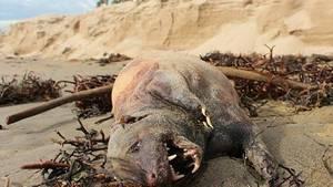 Un animal étrange et inconnu retrouvé sur une plage de Santa Barbara