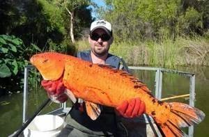 Des poissons rouges géants détruisent les écosystèmes