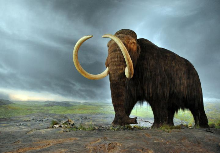Première mondiale: le génome de deux mammouths laineux reconstitué
