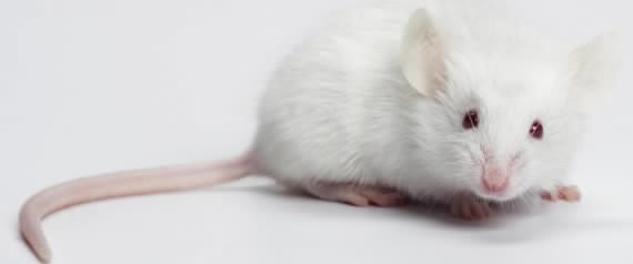 Des scientifiques américains créent des souris hybrides au cerveau mi-humain