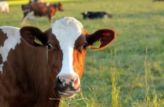 Les scientifiques planchent sur une vache du futur aux pets écolos