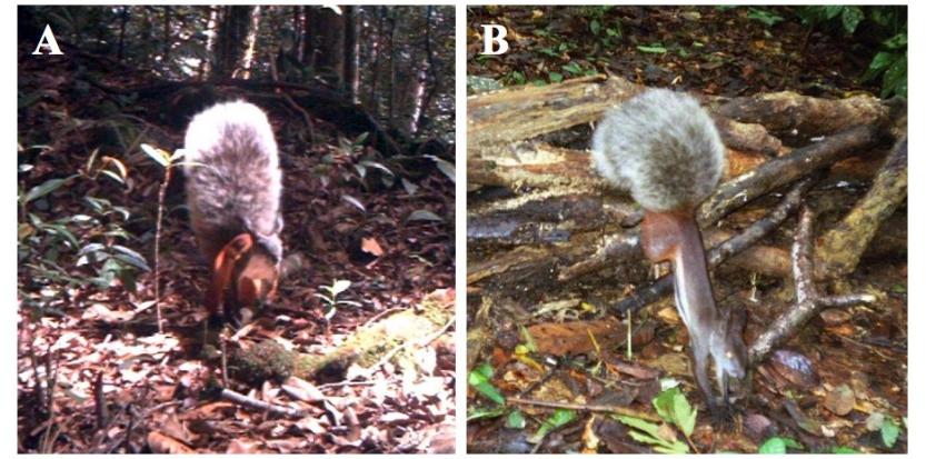 L'écureuil vampire sort des forêts de Bornéo