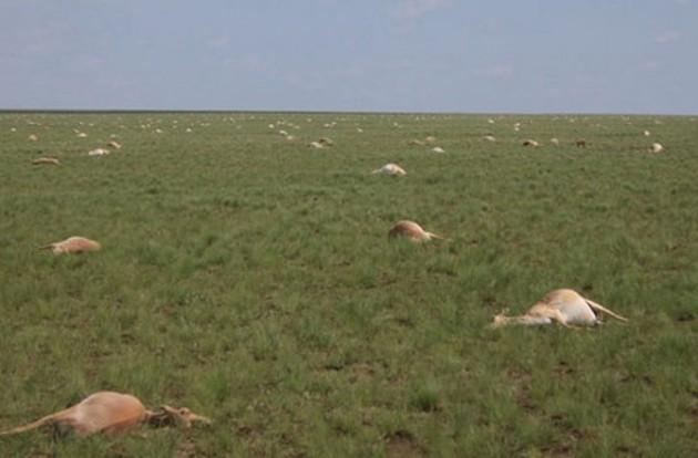 Mystère: mort de 60.000 antilopes en voie de disparition en 4 jours