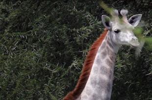 Une girafe blanche comme neige découverte en Tanzanie