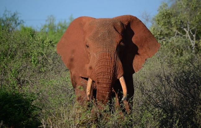 Zimbabwe: Un chasseur meurt écrasé par l'éléphant qu'il était en train de chasser