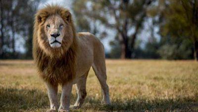 Un braconnier dévoré par les lions en Afrique du Sud