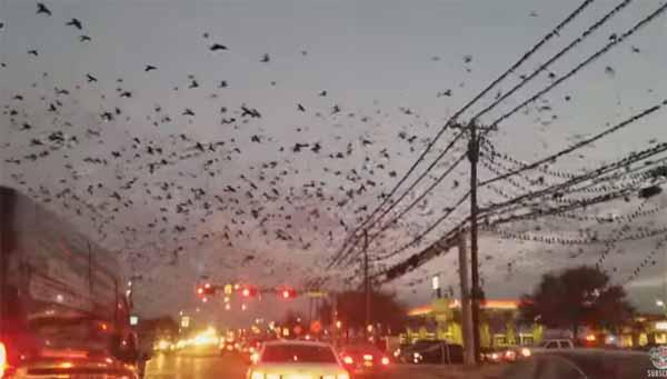 Vidéo: Vision d'Apocalypse: des nuées d'oiseaux sorties d'un film d'Hitchcock au-dessus du Texas
