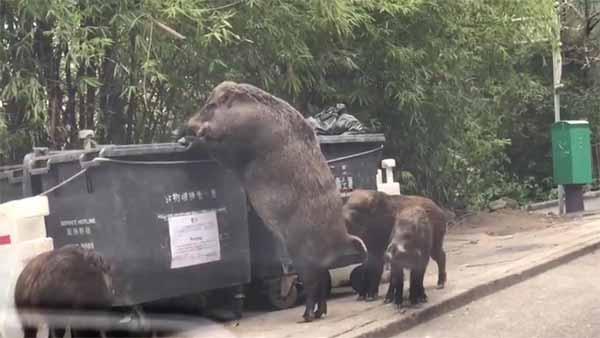 """Vidéo: """"Pigzilla"""" Le Méga Sanglier Sauvage qui se nourrit de détritus a été filmé"""
