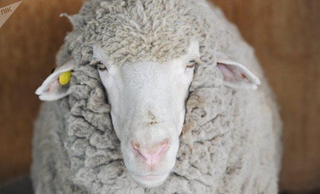 Des chercheurs créent un embryon de mouton avec des cellules humaines