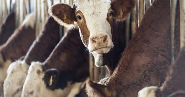 Trois vaches viennent de se faire poser un implant d'un nouveau type, et bientôt, ce sera vous