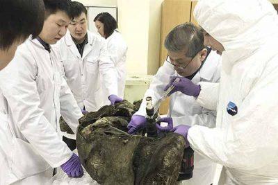 Des scientifiques veulent cloner les mammouths